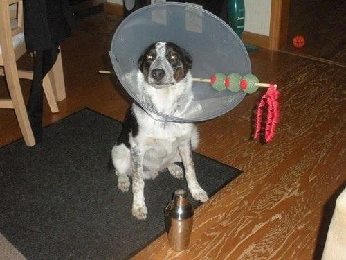 martini - Dog Halloween Ideas