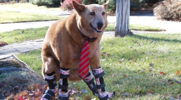 """DENVER - Naki'o relaxes in a front yard. This Red Heeler mix is the world's first """"bionic dog"""" with four prosthetic paws. As a puppy, he was found frozen into a puddle in a foreclosed home. Surgeons were forced to ampute his four paws to save his life. He was adopted by Veterinary assistant Christie Pace who helped him get his prosthetics.  (Photo Credit: © National Geographic Channel/Mike Geiger)"""