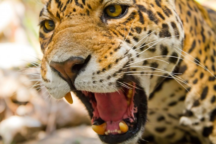 The Jaguar has the most powerful bite, pound for pound, of the big cats. (Photo credit: © 2015 Thinkstock)
