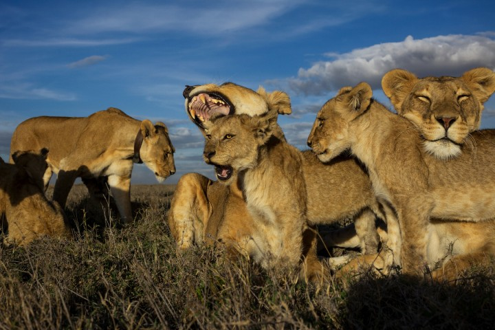 Vumbi pride females and cubs rest and nestle together.  (Photo credit: © National Geographic Creative / Michael Nichols)