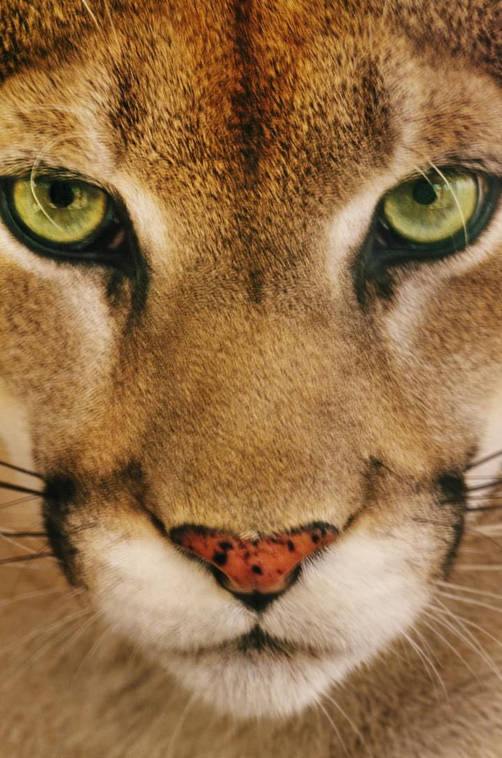 Belize- A cougar face, Puma concolor. (Photo credit: Frans Lanting/National Geographic Creative) (Instagram only credit:  Frans Lanting/@natgeocreative)