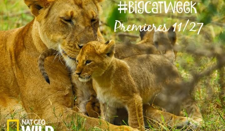 Nat Geo Wild's Big Cat Week Premieres Friday 11/27 #BigCatWeek