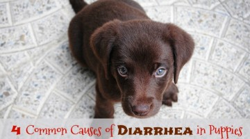 Some Common Causes of Diarrhea in Puppies