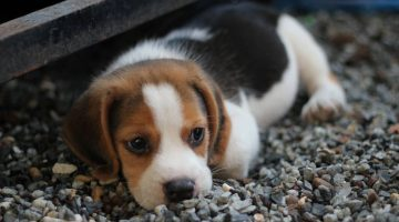 4 Easy Ways to Treat Common Ailments in Puppies and Adolescent Canines