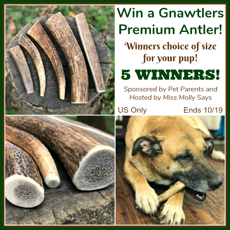 #Win Gnawtlers Premium Antler in size of choice! 5 WINNERS! US ends 10/19