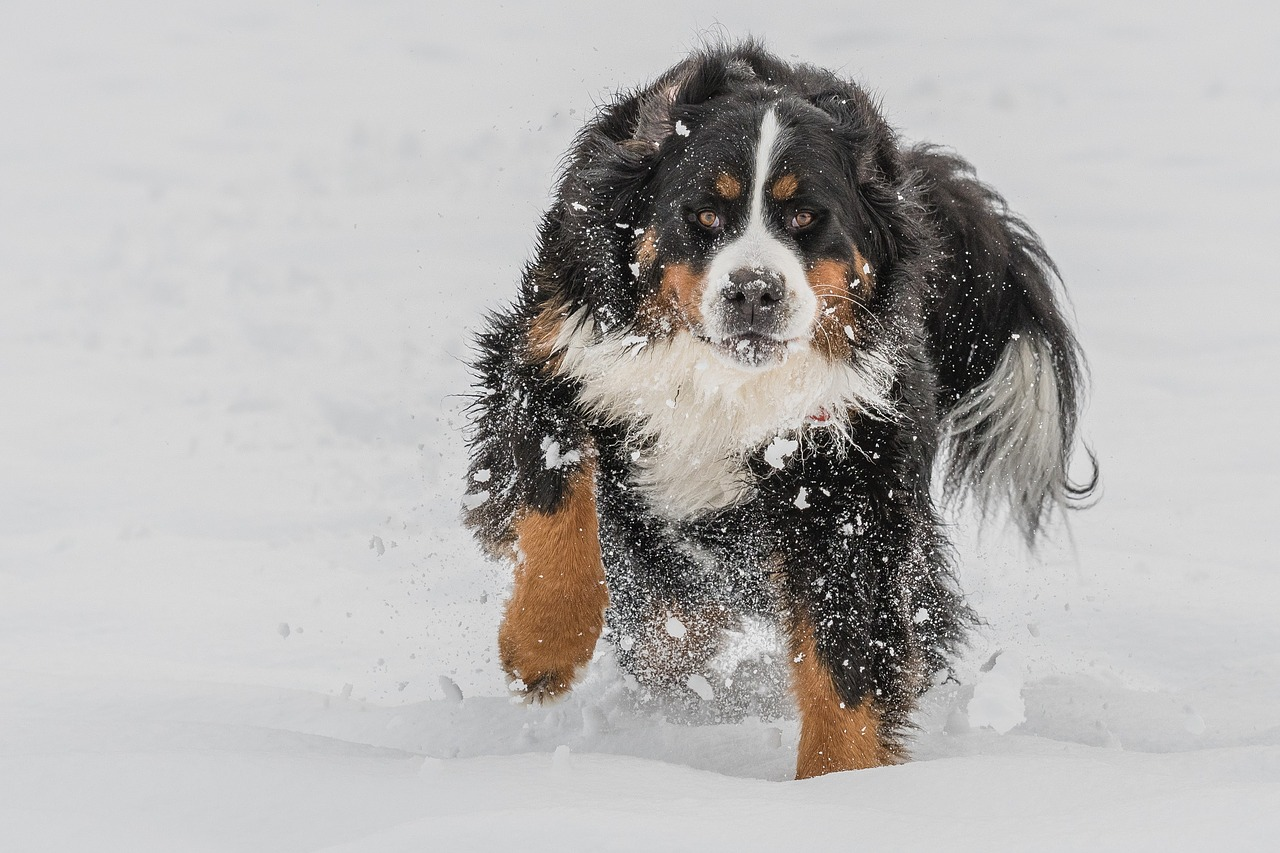 Which Dog Breeds Need Coats in the Winter?