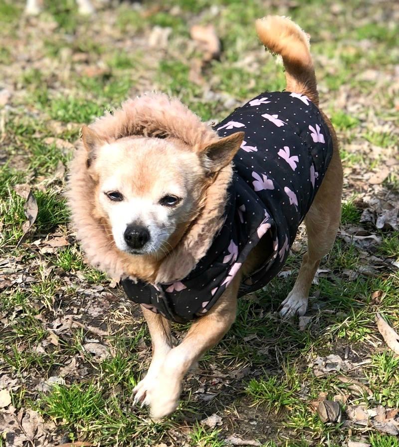 Little Bit Dogs need winter jackets