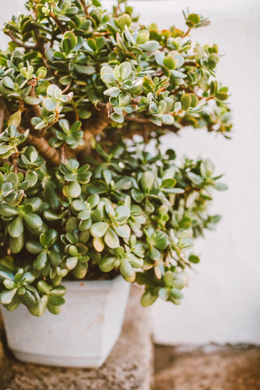 Benefits Of Growing Bonsai Plants In Your Home