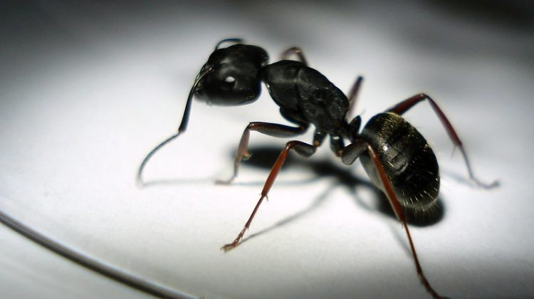 Controlling Little Black Ants in Your Home