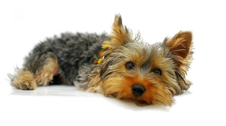 7 Dog Breeds That Adapt Well to Living in an Apartment